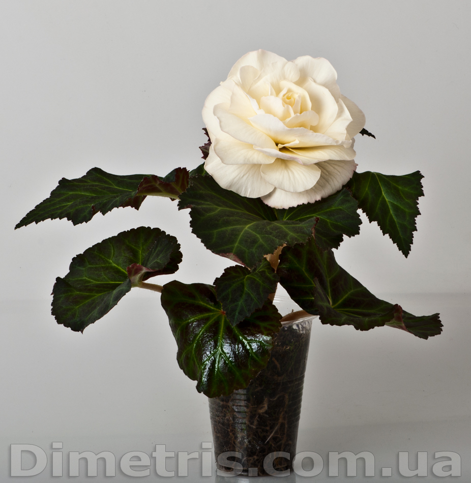 Vanilla Delight (J.Hamilton/Dimetris)