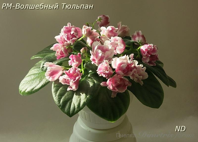 рм рм-волшебный тюльпан фото