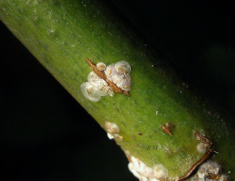 Aulacaspis rosae-1.jpg