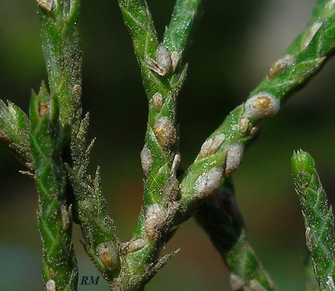Carulaspis-juniperi.jpg