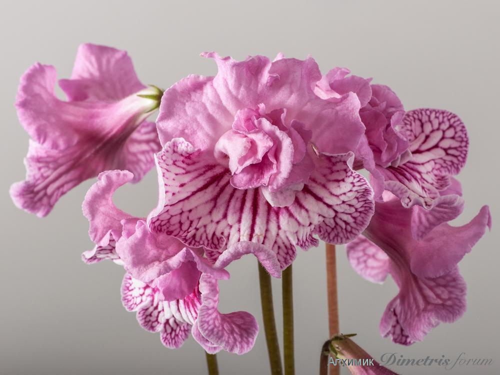 DS-Розовый Фламинго