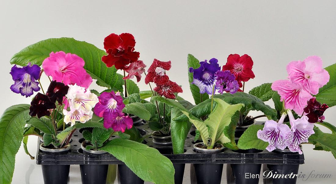 Стрептокарпус цветок комнатный фото