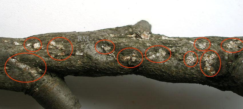 Epidiaspis leperii5.jpg