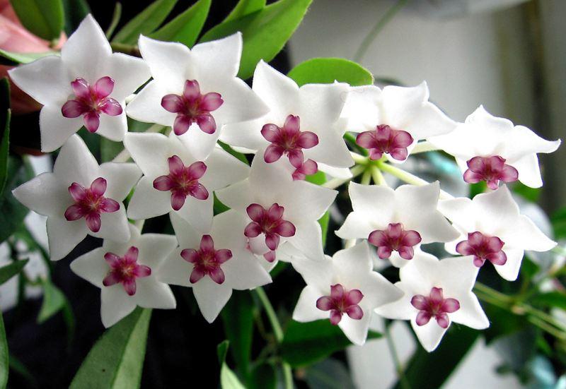 Комнатный цветок цветущий с