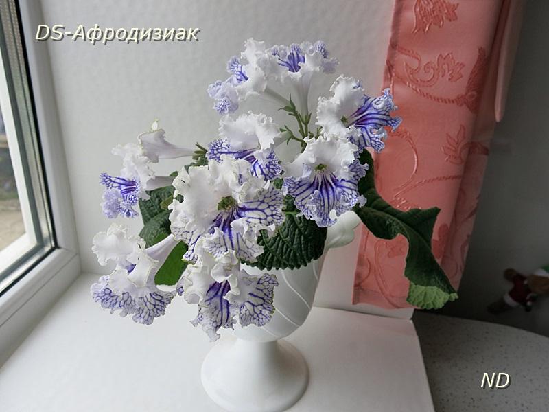 афродизиак стрептокарпус фото