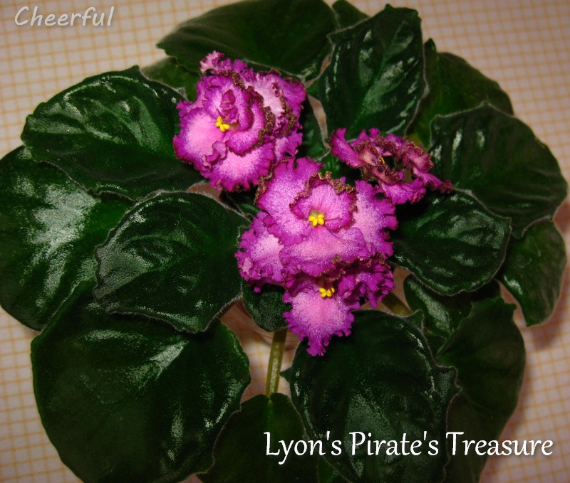 Lyon s pirates treasure