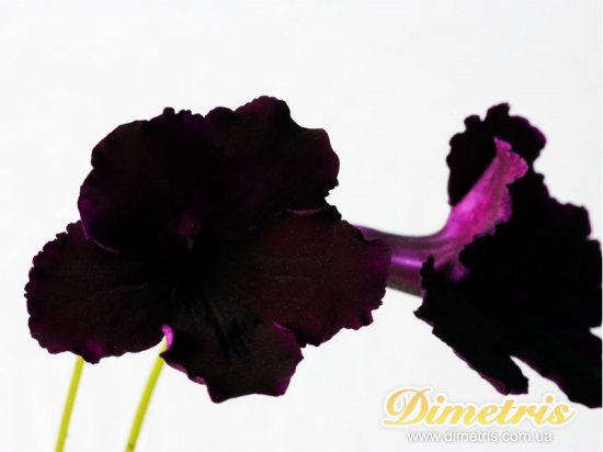 Selected Dimetris varieties DS-Gothic  (Dimetris, 2008)