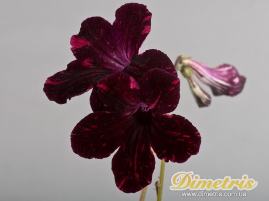 Selected Dimetris varieties DS-Little Furry Arctic Fox 1