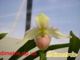 Орхидеи. Phragmipedium Sedenii